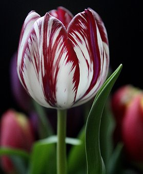 Tulip, Flower, Red, Striped, Beautiful, Spring, Floral