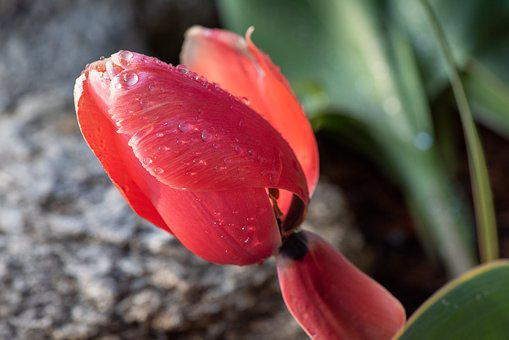Tulip, Blossom, Bloom, Flower, Red, Raindrop, Nature