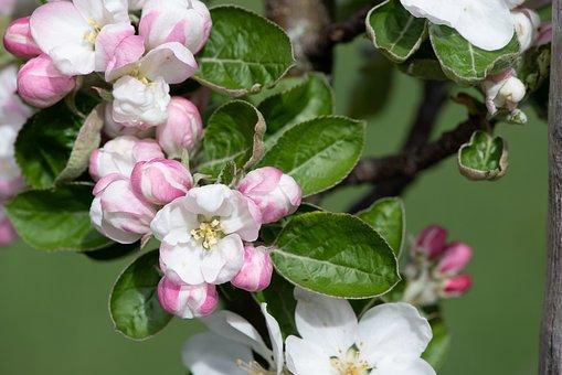 Flowers, Branch, Apple Tree, Apple Tree Flowers, Garden