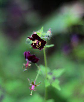 Geranium Phaeum Samobor, Pelagonia, Purple, Flower
