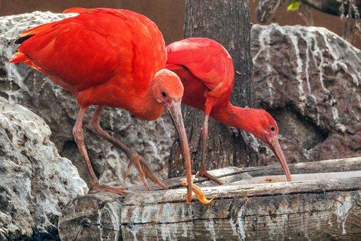 Spain, Valencia, Ozeaneum, Birds, Ibises, Glossy Ibis