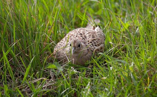 Lady Pheasant, Hen Pheasant, Hen, Pheasant, Grass