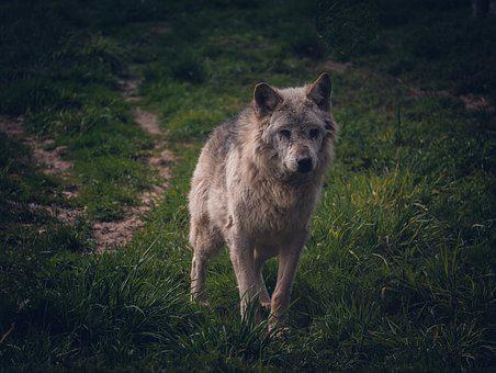 Wolf, Animals, Nature, Dog, Animal World, Mammal, Furry