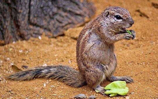 The Squirrel, Called Cape, African, Rodent, Mammal
