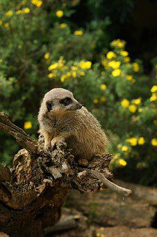 Meerkat, Animal, Animals, Mammal, Mongoose, Curious