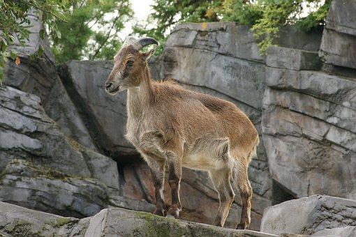 Mountain Goat, Need, Landscape, Goat, Mammal, Alpine