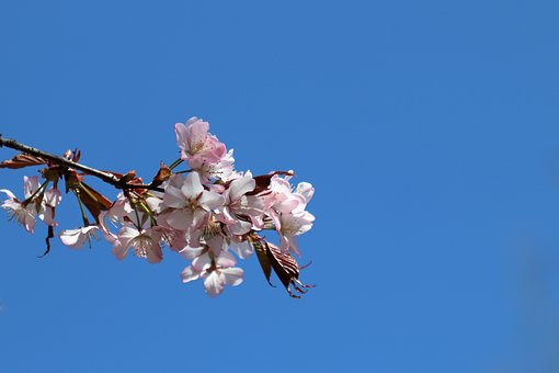 Flowers, Sakura, Sky, Spring, Nature, Bloom, Japanese