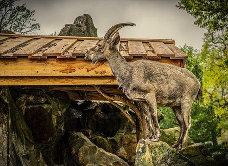 Capricorn, Animal, Horn, Nature, Horns, Mammal