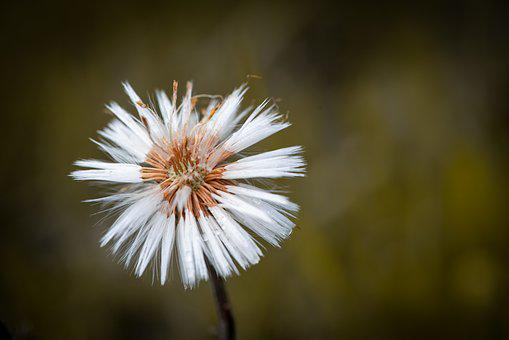 Dandelion, Faded, Nature, Flying Seeds, Seeds, Plant