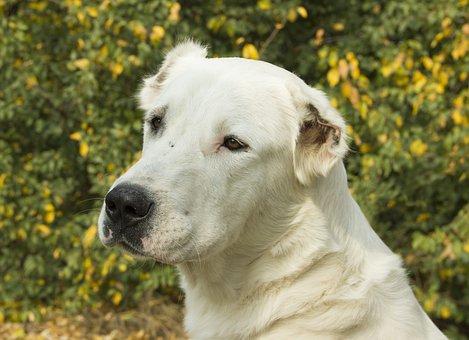 Dog, Pet, View, Alabai, Central Asian Shepherd Dog