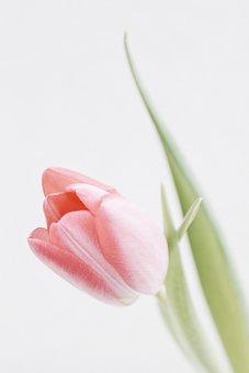 Tulips, Spring, Flowers, Nature, Flora, Garden, Plant