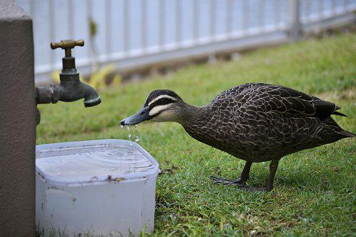 Duck, Drink, Water, Drinking, Plumage, Bird, Feather