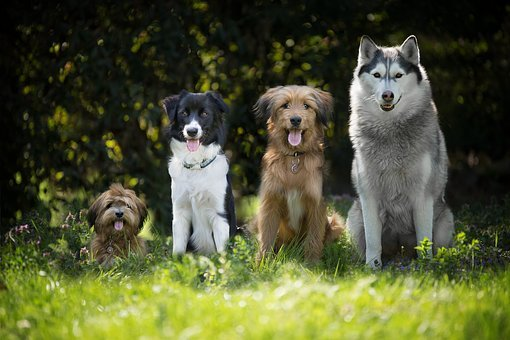 Dogs, Puppy, Border Collie, Pet, Doggy Style, Maltese