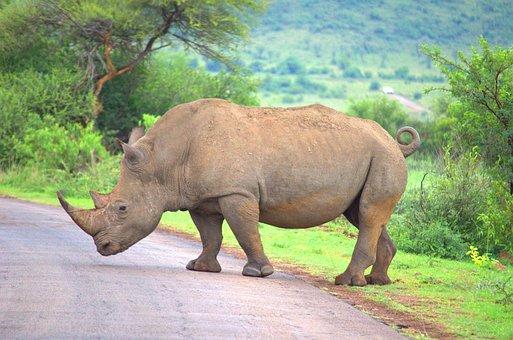 Rhino, Wildlife, Rhinoceros, Animal, Safari, Nature