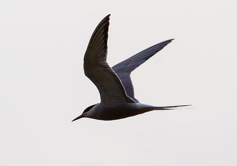 Arctic Turn, Flight, Silhouette, Sea Bird, Flying, Tern