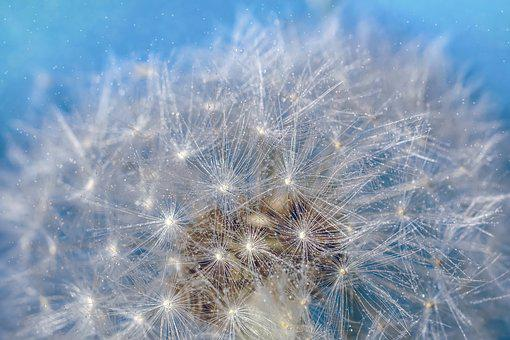 Dandelion, Seeds, Close Up, Flying Seeds, Umbrella