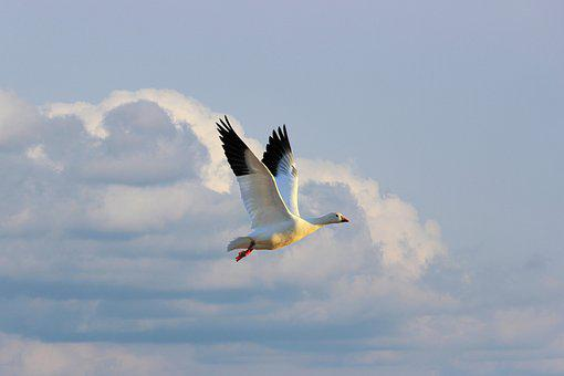 Goose, White, Snowgoose, Flies, Clouds, Sky, Covered