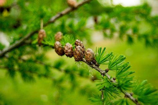 Larch, Needles, Pine, Leaf, Nature, Tree, Sprig, Iglak