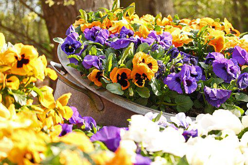 Pansy, Spring, Garden, Bloom, Violet, Yellow, Flora