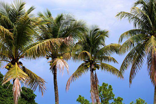 Palm Trees, Coconut Trees, Coconuts, Palms, Trees