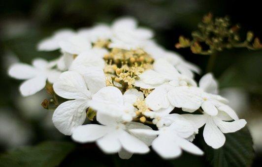 Viburnum Watanabe, White, Randbloemen