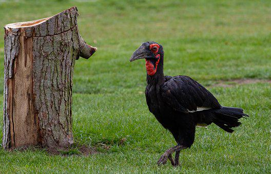 Black Bird, Red Feathers, Hunter, Vulture, African Bird