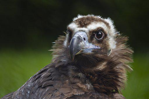 Bird, Raptor, Animal, Plumage, Zoo, Eyes, Beak, Eagle