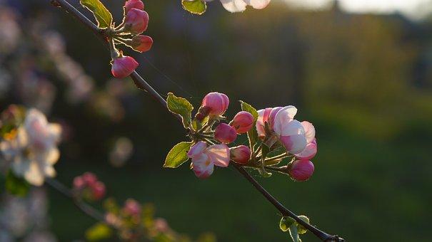 Nature, Plants, Flowers, Apple, Sprig, Spring