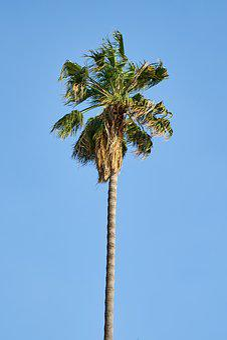 Palm, Tree, Tropical, Beautiful, Botanical, Holiday