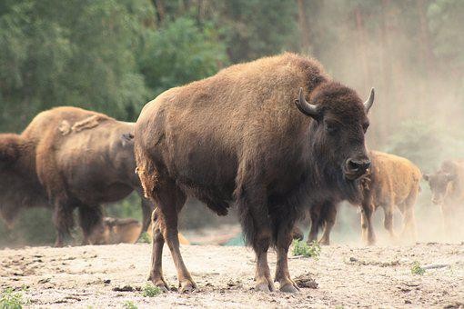Bison, Buffalo, Flock, Animal, Beef, Nature, Horns