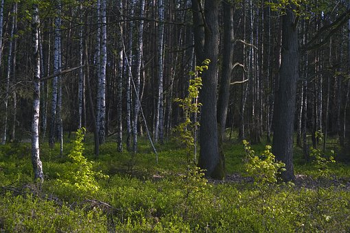 Tree, Birch, Landscape, Forest, Wood, Nature, Colors