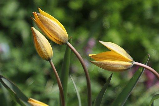 Tulips, Yellow, Flowers, Flower, Tulip, Garden, Bloom