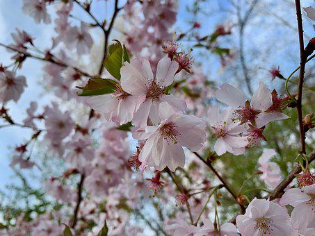 Cherry Blossom, Spring, Pink, Tree, Nature, Branch