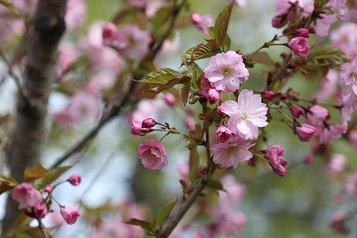Spring, Sakura, Cherry, Bloom, Pink, Tree, Branch