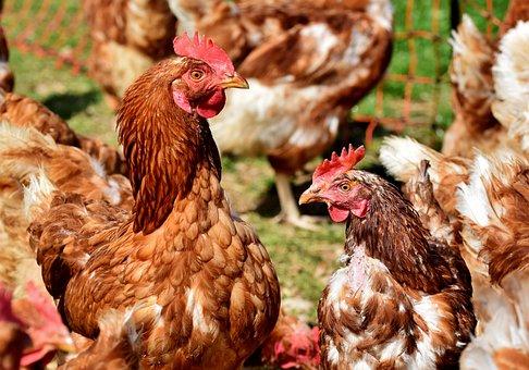 Chicken, Hen, Poultry, Rump, Free Range, Livestock