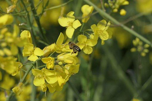 Rape Blossoms, Bee, Close Up, Oilseed Rape, Yellow