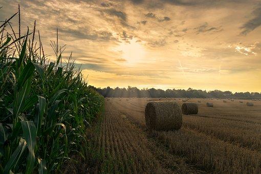 Harvest, Cornfield, Agriculture, Corn, Cereals, Rural