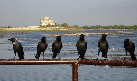 Bird, Crow, House Crow, Murder, Flock, Corvus Splendens