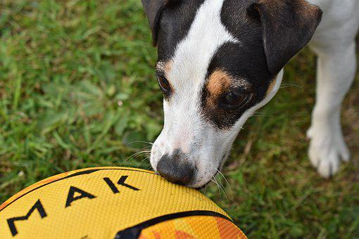 Dog, Jack Russel, Ball, Play, Terrier, Cute