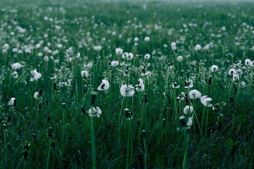 Dandelions, Field, Dandelions In A Field, Dandelion