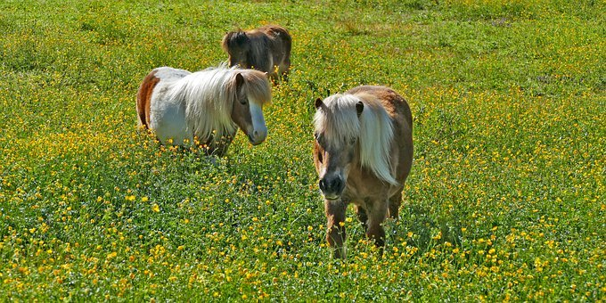 Landscape, Meadow, Pasture, Flowers, Dandelion, Animals