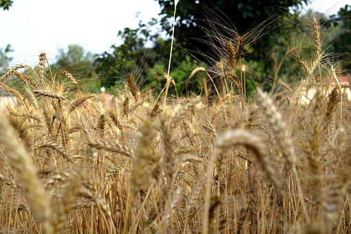 Wheat, Ripe, Summer, Agriculture, Harvest, Field, Food