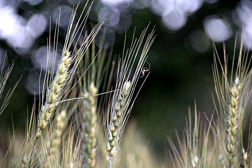 Wheat, Plants, Grain, Agriculture, Food, Field, Nature