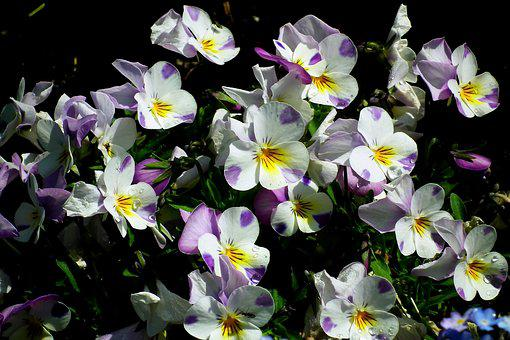 Pansies, Flowers, Colorful, Flourishing, The Petals