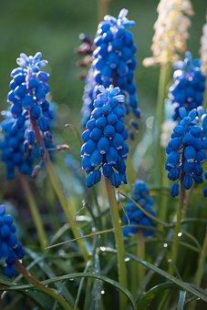 Hyacinth, Grape Hyacinth, Blue, Flowers, Nature, Plant