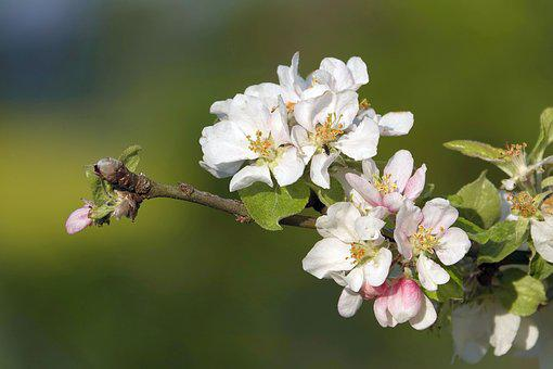Apple Blossoms, Branch, Spring Blossoms, Flowers