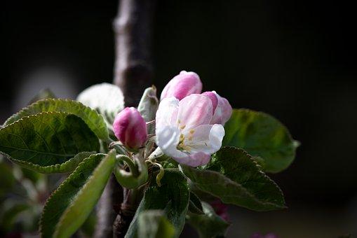 Flowers, White, Apple Tree, Garden, Vegetable Garden