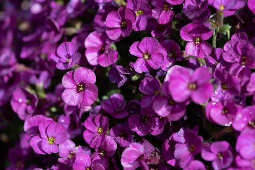 Flowers, Purple, Pink, Garden, Spring, Nature, Flora
