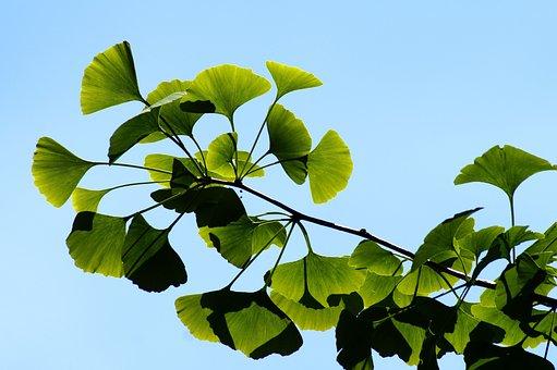 Ginkgo, Gingko, Biloba, Leaves, Bokeh, Green, Leaf