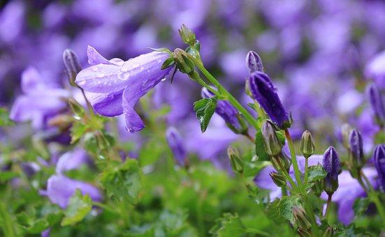 Bellflower, Glockenblume, Campanula Portenschlagiana